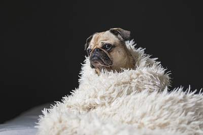 Puggle Photograph - Wrapped by Billy Soden