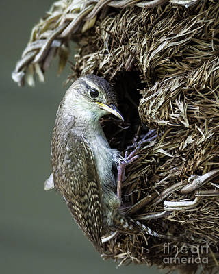 Photograph - Wren On The Nest by Amy Porter