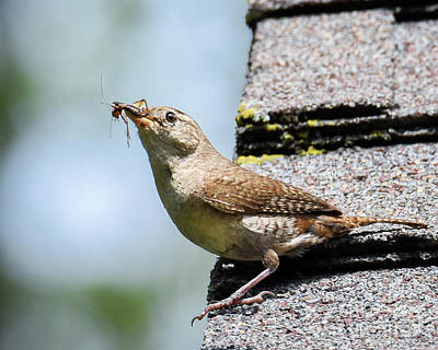 Photograph - Wren On The Roof by Amy Porter