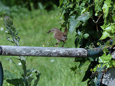 Photograph - Wren  by Phil Banks