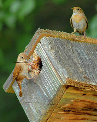 Photograph - Wrens Building Nest by Don Wolf