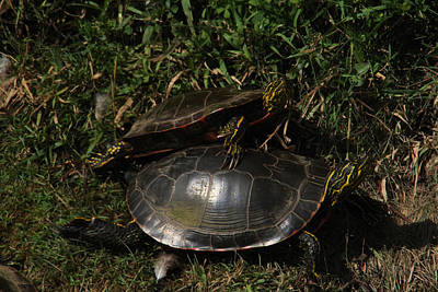 Painted Turtle Wall Art - Photograph - Wrestle Mania Painted Turtle Stlye by Jeff Swan