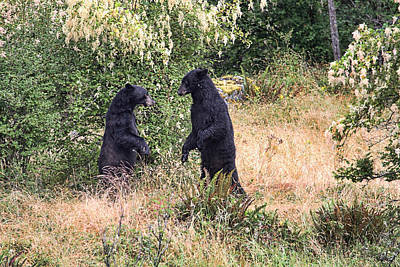 Photograph - Black Bears Wrestling - Canadian Wildlife by Peggy Collins