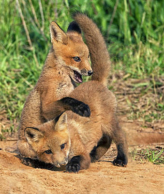 Photograph - Wrestling Fox Kits by Art Cole