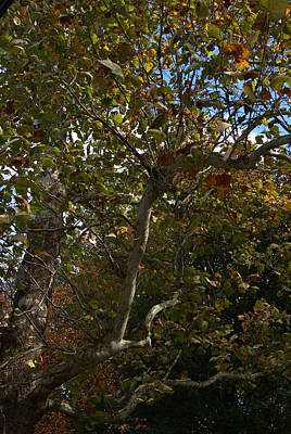 Photograph - Sunlit Branches Of Autumn by Margie Avellino
