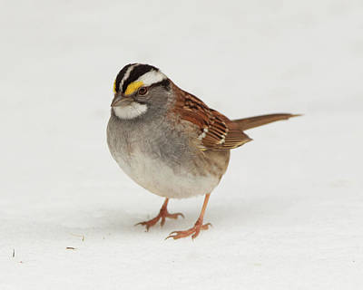 Photograph - Wt Sparrow by Gerry Sibell