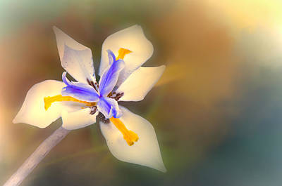 Photograph - African Iris by Maria Coulson