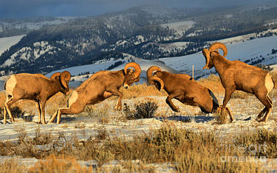 Photograph - Wyoming Big Horn Brawlers Crop by Adam Jewell