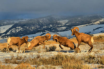 Photograph - Wyoming Bighorn Brawlers by Adam Jewell