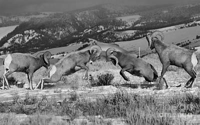 Photograph - Wyoming Bighorn Brawlers Crop Black And White by Adam Jewell