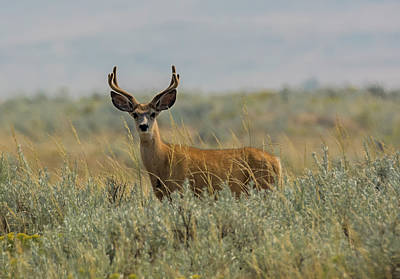 Photograph - Wyoming Buck by Loree Johnson