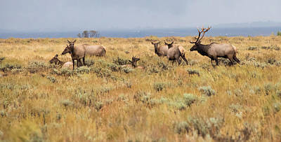 Photograph - Wyoming Elk Herd by Jennifer Ancker