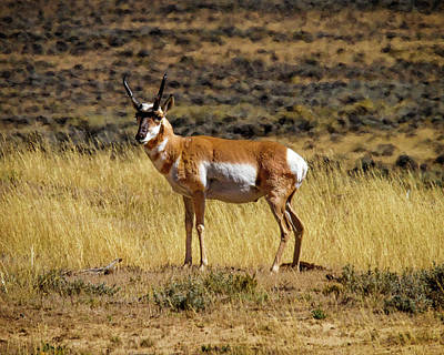Photograph - Wyoming Pronghorn Buck by Ronald Lutz