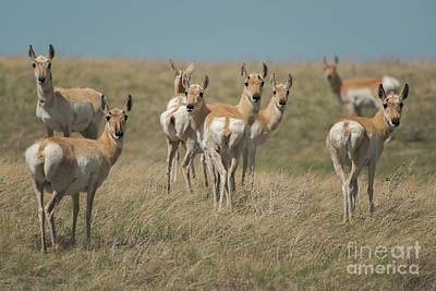Photograph - Wyoming Pronghorn Does by Tim Moore