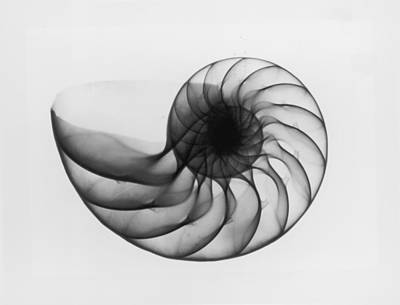 X-ray Image Photograph - X-ray Nautilus Shell by Edward Charles Le Grice