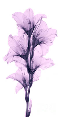 X-ray Of A Gladiola Flower Art Print by Ted Kinsman