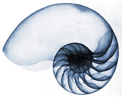 Dark Navy Blue Photograph - X Ray Of A Nautilus by American School