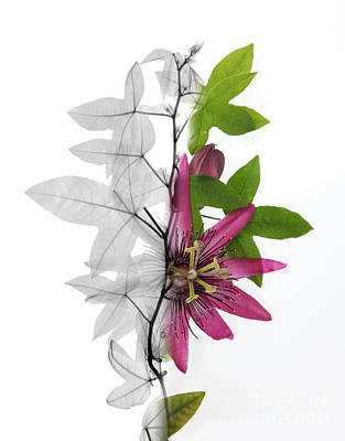 X-ray Of A Passion Flower Art Print by Ted Kinsman