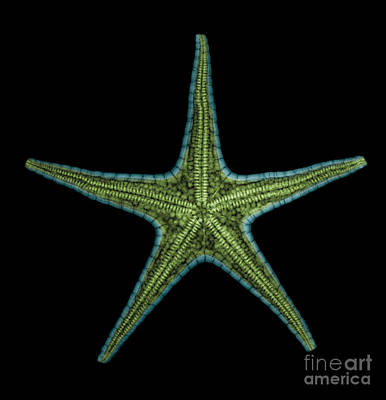 X-ray Of Starfish Art Print by Ted Kinsman