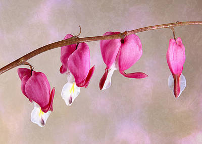 Photograph - Bleeding Heart by Patti Deters