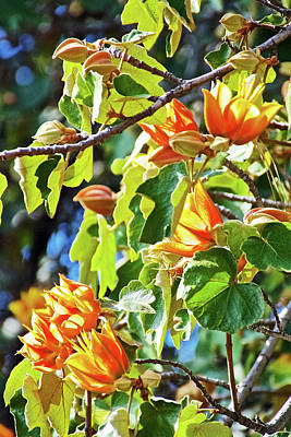 Photograph - Xchiranthofremontia Lenzii In Rancho Santa Ana Botanic Garden In Claremont-california by Ruth Hager