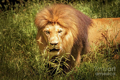 Photograph - Xerxes Black Maned Lion by Sonya Lang