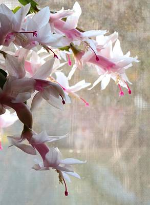 Photograph - Xmas Cactus At Thanksgiving by I'ina Van Lawick
