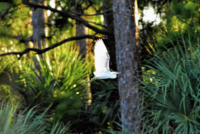 Photograph - Xray Wing Egret by William Tasker