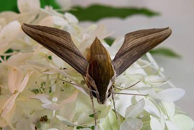 Photograph - Xylophanes In Takeoff Positiom by Douglas Barnett