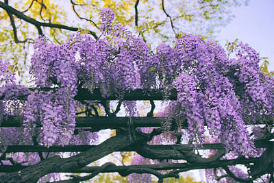 Photograph - Winsome Wisteria by Jessica Jenney