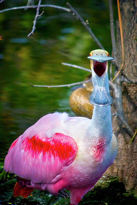 Spoonbill Photograph - Ya Don't Say by Mark Andrew Thomas