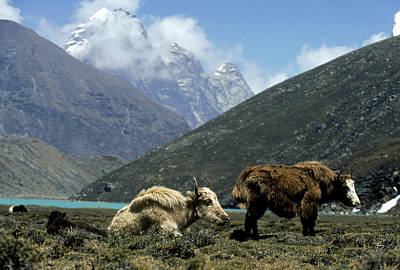 Yak Photograph - Yak by Martyn Colbeck