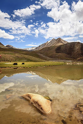 Photograph - Yaks In Ladakh by Alexey Stiop