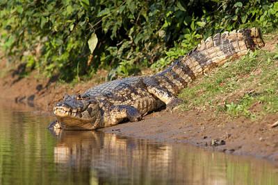 Shark Art - Alligator Crawling into Yakuma River by Aivar Mikko