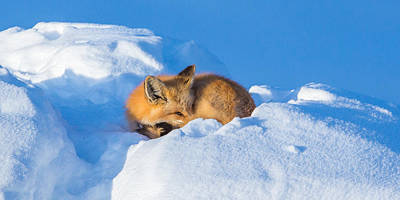 Photograph - Yampa Nap  by Kevin Dietrich