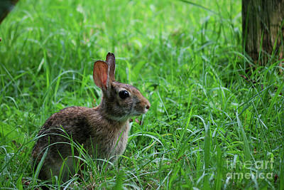 Captive Animal Photograph - Yard Bunny by Randy Bodkins