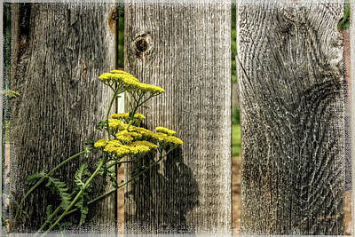 Photograph - Yarrow And The Old Fence by Mick Anderson