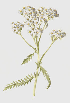 Leaf Drawing - Yarrow by Frederick Edward Hulme