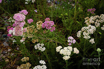 Photograph - Yarrow by Jon Burch Photography