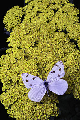 Yarrow Photograph - Yarrow With White Butterfly by Garry Gay