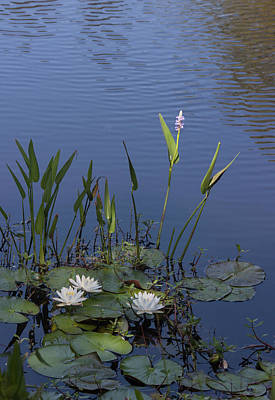 Photograph - Yawkey Wildlife Reguge Water Lilies With Rare Plant by Suzanne Gaff