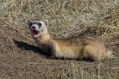 Yawning Black-footed Ferret Art Print by Tony Hake