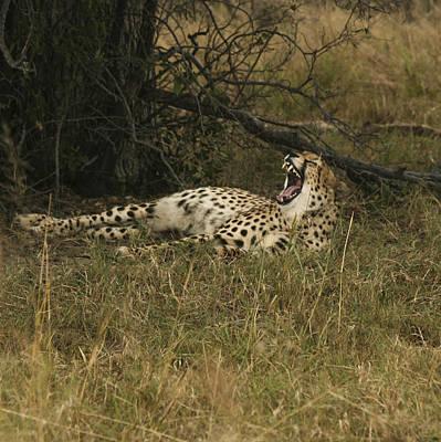 Photograph - Yawning Cheetah  by Karen Zuk Rosenblatt