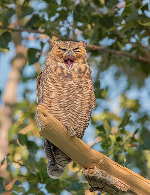 Photograph - Yawning Owl by Loree Johnson