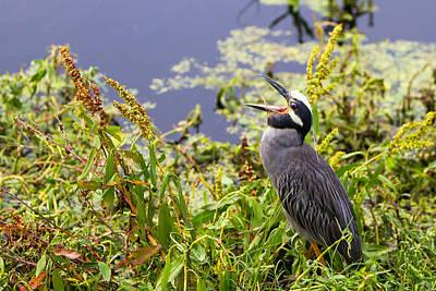 Swamp Photograph - Yawning Yellow Crowned Night Heron - Texas by Ellie Teramoto