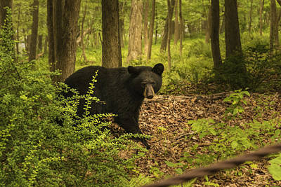 Yearling Black Bear Art Print