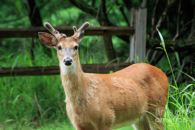 Photograph - Yearling Buck by Richard Smith
