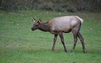 Photograph - Yearling Elk - Cataloochee by rd Erickson