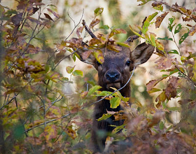 Art Print featuring the photograph Yearling Elk Peeking Through Brush by Michael Dougherty