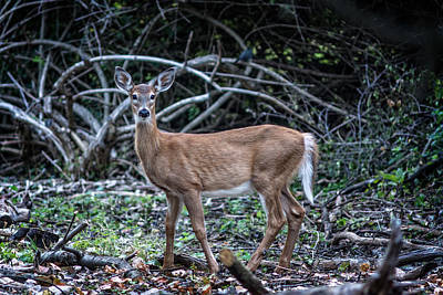 Photograph - Yearling Fawn by Chris Bordeleau